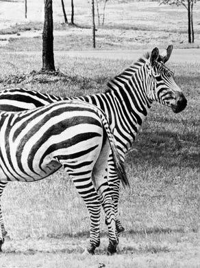 Undated: Zebras at Great Adventure Safari