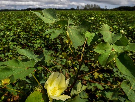 A cotton flower near Autaugaville, Ala., on Thursday