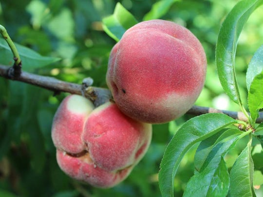Peaches require pruning at least twice per year.