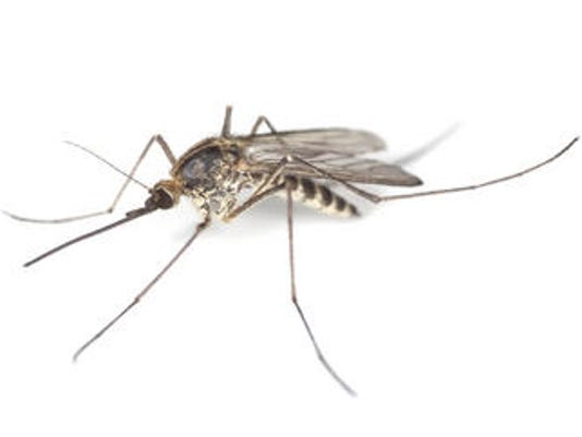 WEB mosquito