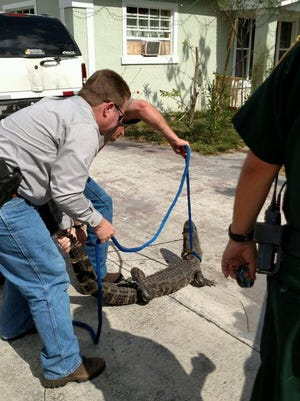 Agricultural detectives with the Martin County Sheriff's Office capture an alligator Wednesday, March 1, 2017, that was found resting under a homeowner's car in Indiantown.