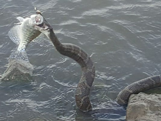 snake-grabs-fish-070617
