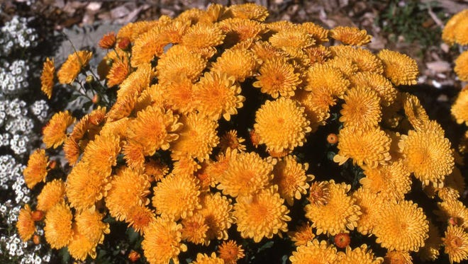 It is possible to save garden mums to grow again and bloom for next year. Read today's column to find out how to save them.