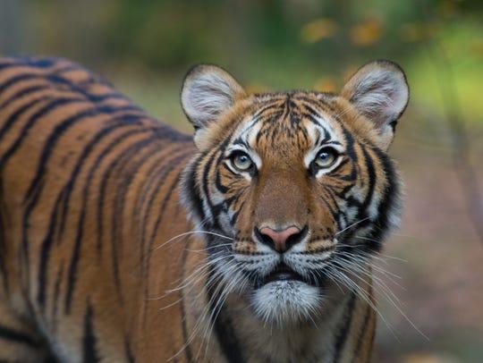A sub-adult Malayan tiger (Panthera tigris jacksoni)