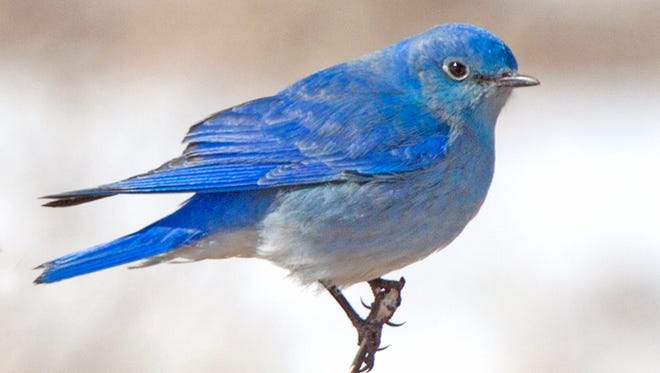 Mountain Bluebirds often hover while foraging; they also pounce on their insect prey from an elevated perch.