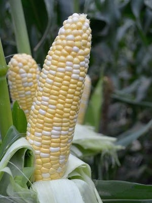 American-Dream-MT-1.jpg: A bi-colored corn with super sweet and tender kernels, Sweet American Dream matures just 77 days after planting.