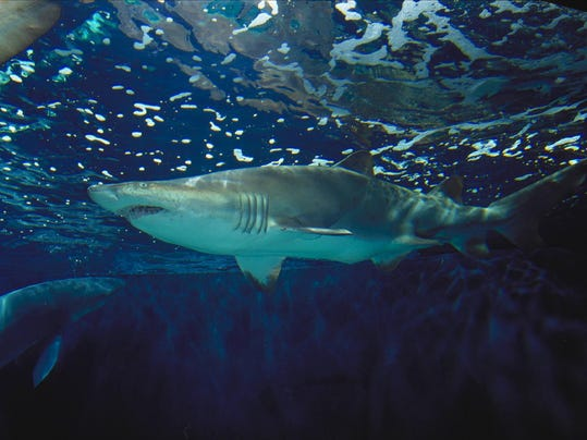 -sharks1.jpg_20030801.jpg