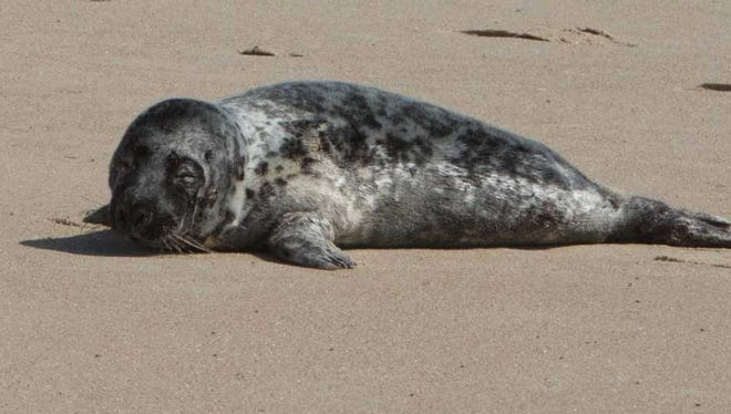 Jelly Bean the two-and-a-half month old seal pup was rescued by MERR on March 29.
