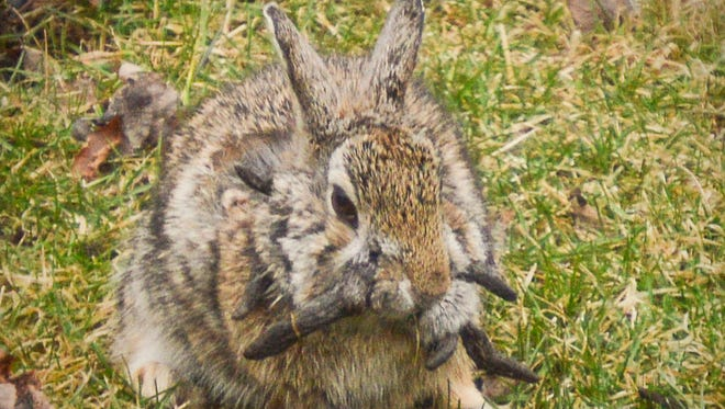 A rabbit with growths caused by a virus turned up recently in a Sauk Rapids yard.