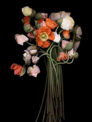 "Joyce Tenneson (American, b. 1945), ""Poppy Bouquet,"" 2004, printed 2015 archival pigment print 22"" x 17"". Gift of Melissa and Scott Tannen, both BA '99, to Vanderbilt University Fine Arts Gallery. © Joyce Tenneson"
