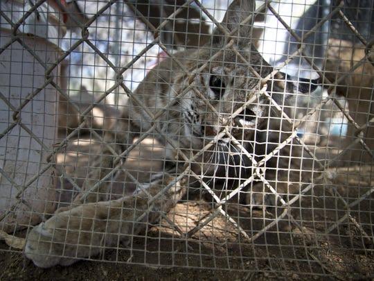 A bobcat on Aug. 28, 2017, at the Southwest Wildlife Conservation Center near Scottsdale.