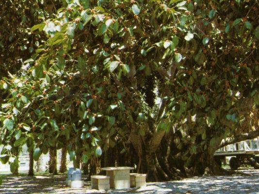 636378763352738759-Banyan-Tree.jpg