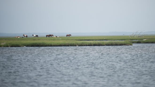 A band of horses is in the marsh at Assateague.