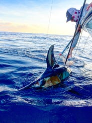Swordfish, once believed to be caught best during the