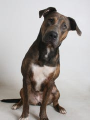 Gloria is a 1-year-old, brindle and white, female German