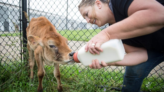 Goats and other livestock from the animal surrender in Daleville adjust to new surroundings at the Muncie Animal Care and Services facility along Riggin Road. The 50 goats and nine cattle that were surrendered have found a home with Scott Jester and his farming family in Winchester.
