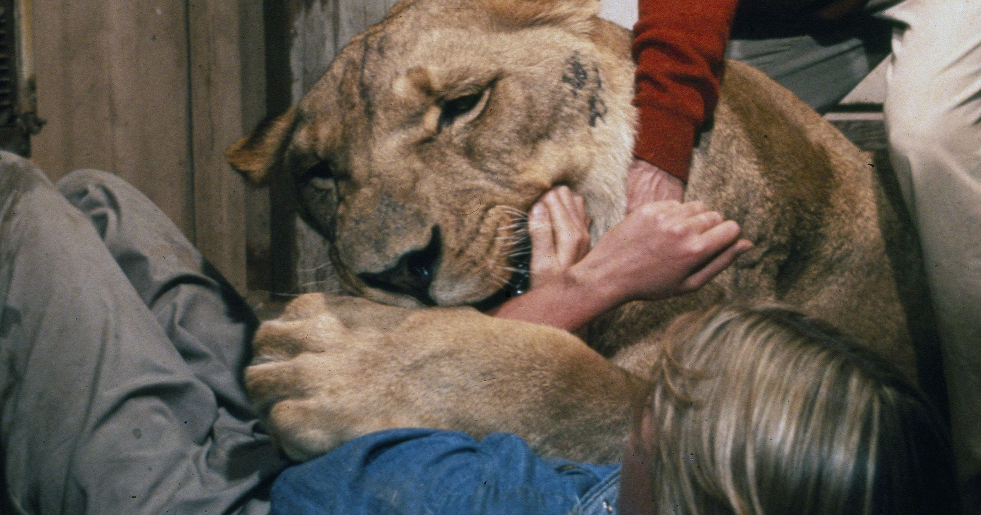 See young Melanie Griffith's bloody face in 'Roar