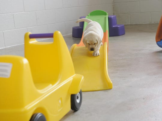 A puppy walks down a training slide at the Leader Dogs for the Blind.