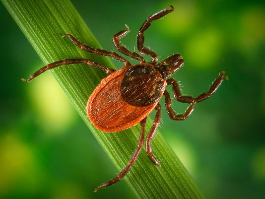 Deer tick close-up