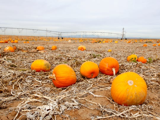 Pumpkins are seen Wednesday at the Navajo Agricultural Products Industry south of Farmington on land used by  Pumpkin Patch Fundraisers, Inc.