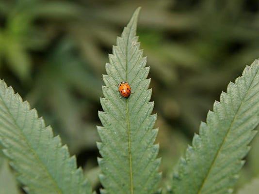-Marijuana for online.jpg_20121129.jpg