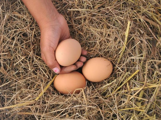 The number of eggs a chicken produces depends on the age and breed of your hens, their nutritional health and the amount of sunlight they receive each day.