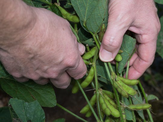 Sam Parker observes soybean pods, which were submerged
