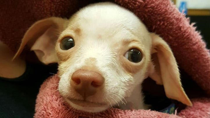One of the 24 chihuahuas confiscated in Port St. John