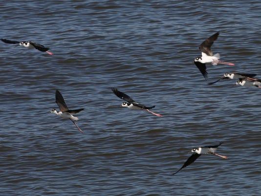 636060122073199086-salton-sea-birds-2.jpg