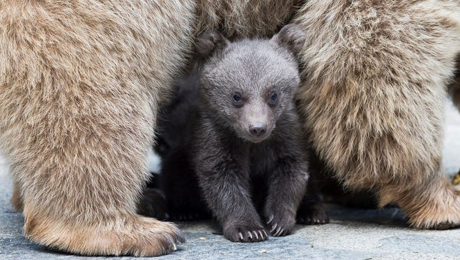 A brown bear cub plays with its mother Martine in its enclosure at a zoo in Switzerland.