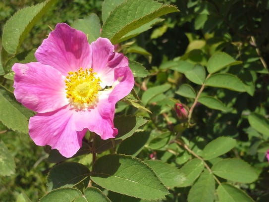 This rose, Sherard's Downey Rose (Rosa sherardii),