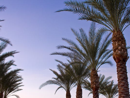 Arizona Date Palms