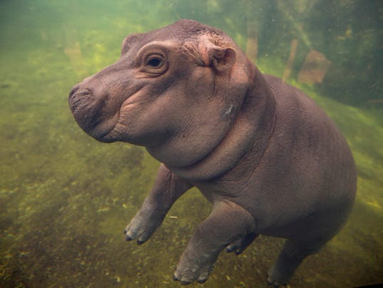 May 31, 2017: Fiona, Cincinnati Zoo and Botanical Garden, Hippo Cove, Hippos, Cincinnati, Zoo Babies, Liz Dufour