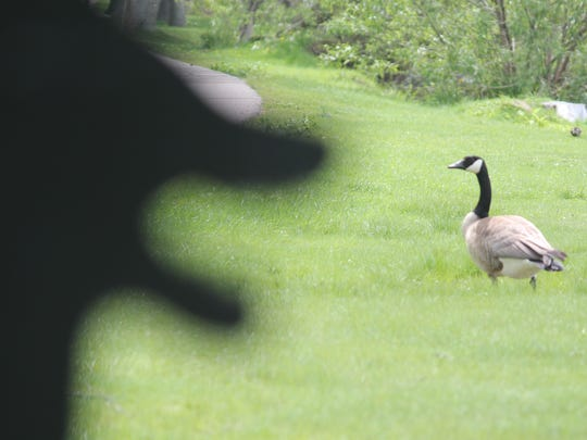 A goose spends time in Pfiffner Pioneer Park near one of the city's remaining dog silhouettes on May 20, 2015.