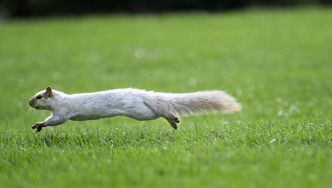 One of the many white squirrels on Iowa State's campus.