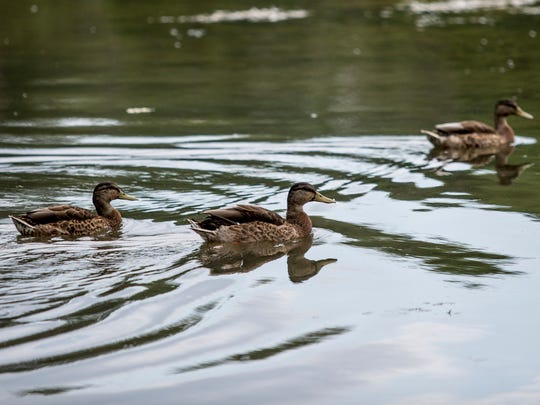 A group of ducks swim Thursday, August 11, 2016 at William P. Thompson Pond in Port Huron Township. A new kayak launch will be installed next week.