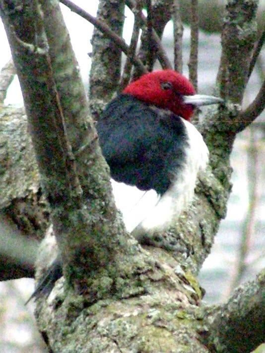 -KEW 0411 redheaded woodpecker.jpg_20150408.jpg