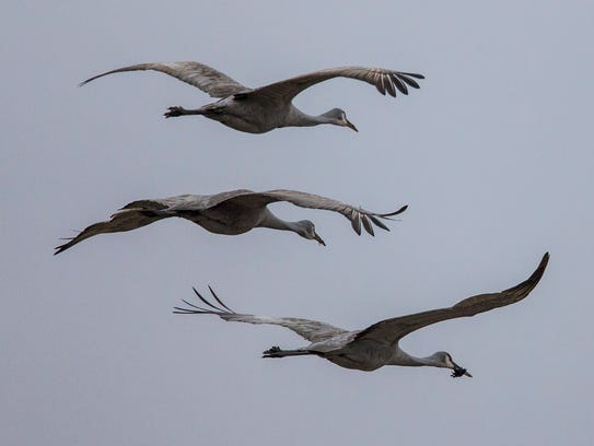 Sandhill cranes in flight in Cecilia, Ky., during their