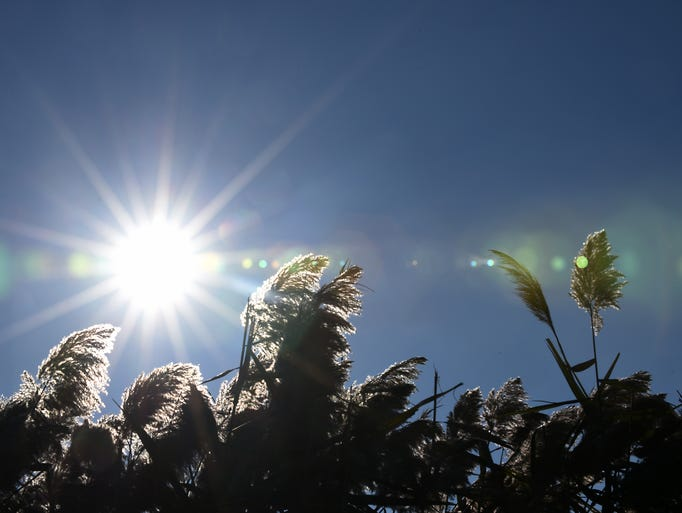 Phragmites against a blue sky during a fall day at