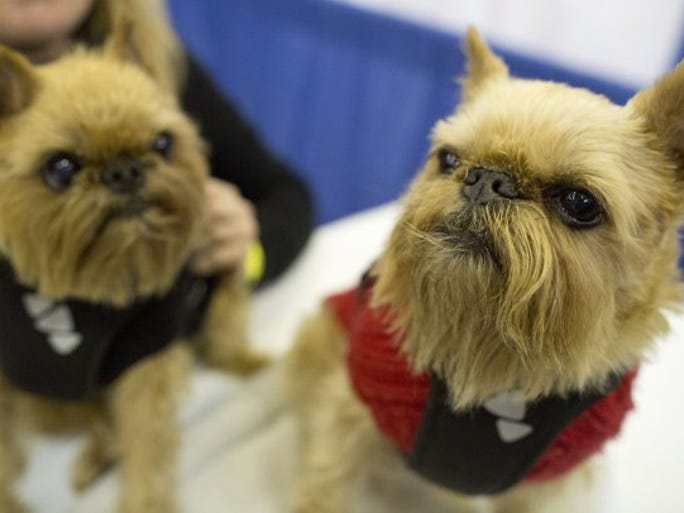 Brussels griffons Karli (left) and Spice participate in the meet the breed portion of the 140th Westminster Kennel Club Dog Show on Saturday, Feb. 13, 2016, in New York.
