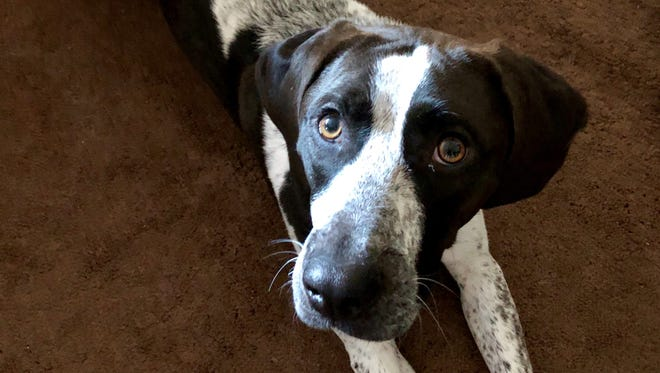 Piper is one of the humane society dogs that has benefited from the foster program.