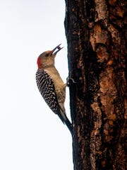 A red-bellied woodpecker searches for a morning snack along the path in Serenity Walking Park on Tuesday, Jan. 9, 2018, in East Naples. The park, nestled along the west side of Collier Boulevard just north of Rattlesnake Hammock Road, recently re-opened after being shut down for months due to damage from last spring's brush fires and Hurricane Irma. The park, built in 2011, features a mile-long walking trail and is home to an abundance of native birds and plant life.