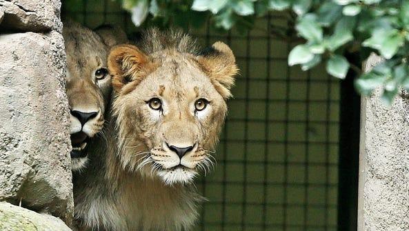 Male lions Motshegetsi (left) and Majo explore their