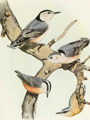 Red-breasted nuthatches (below with male left and female right) differ from larger white-breasted nuthatches (above with male left and female right) by their smaller size and the distinctive white stripe above the eye.