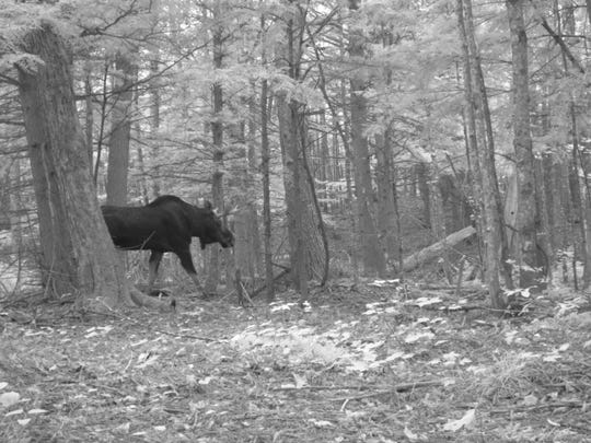 A camera-trap captured this photo of a moose at the Huron Mountain Club in the Upper Peninsula in October of 2016.
