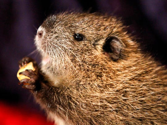 In this Feb. 2, 2011, file photo, T-Boy, a 6-week-old nutria, comes out of his hole at the Audubon Zoo in New Orleans. The California Department of Fish and Wildlife said Thursday, Feb. 8, 2018, it is trying to eradicate the rodents from the state because once established, nutria could cause loss of wetlands, damage to agricultural crops and levees, dikes and roadbeds.