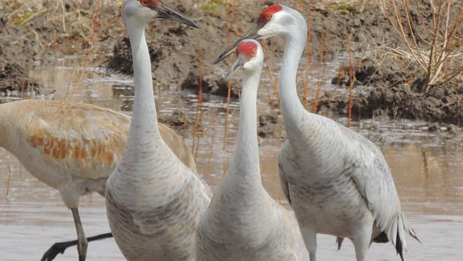 Sandhill crane migration is peaking across east-central Wisconsin. You can find thousands of cranes this week at Navarino Wildlife Area. The Midwest Annual Crane Count takes place Saturday.
