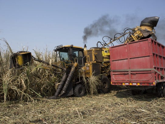 Sugar cane stalks are loaded into a truck during the