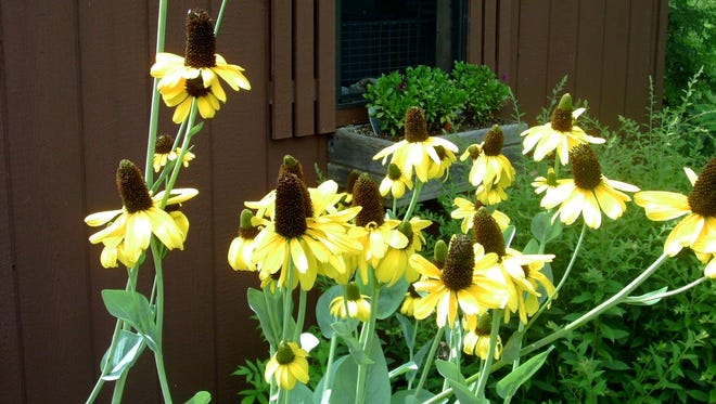 Rudbeckia maxima has a coneflower-type blossom on tall five to 6-foot stems. The large seed heads are sure to attract goldfinches.