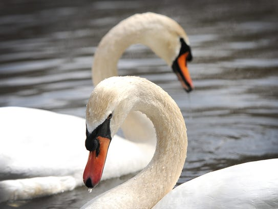 Murray McMurray Hatchery out of Webster City, Iowa, sells male-female pairs of yearling mute swans — white, with an orange and black bill — for $2,025.